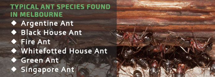 Typical Ant Species Found in Melbourne
