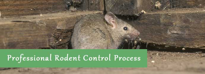 Professional Rodent Control Process in Melbourne