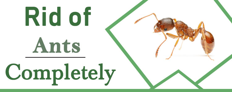 How to Get Rid of Ants Completely