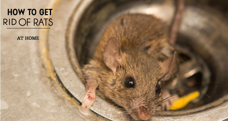 Awesome Get Rid of Rats