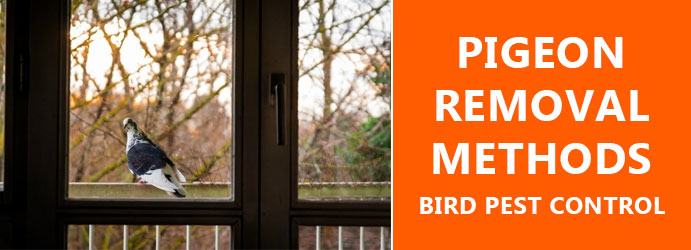 Pigeon Removal Methods Brisbane