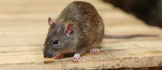 Rodent Control Indooroopilly Centre