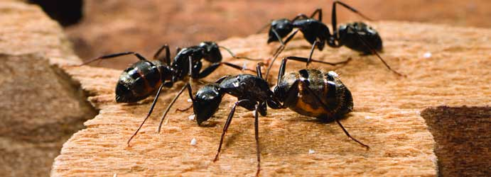 Ants Pest Control Elevated Plains