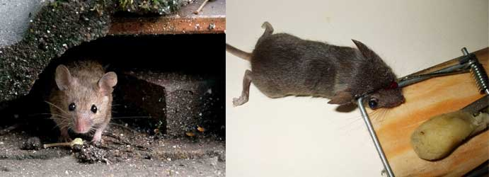 Mice and Bat Trap For Mice Pest Control French Island