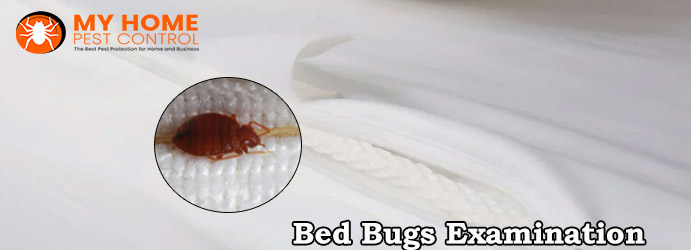 Bed Bugs Infestation