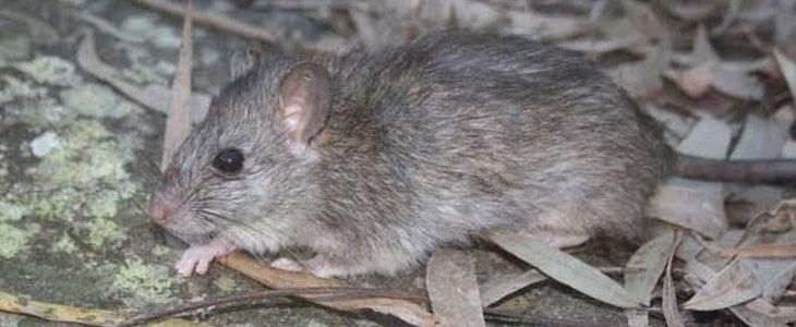 Best Rodent Control in Canberra